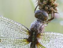Tau-Libelle von Christiane Wolff-Middelmann