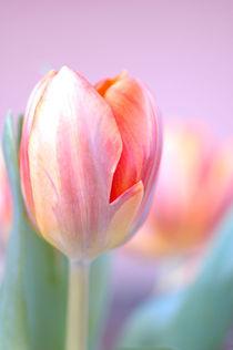 Tulpe im Vordergrund by printer
