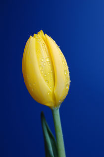 gelbe Tulpe by printer