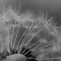 Pusteblume by printer