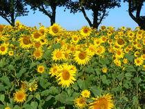 Sonnenblumenfeld von Ralf Schröer