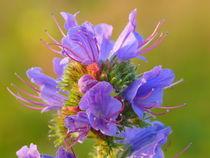 Wiesenblume - Natternkopf (Echium vulgare) von Ralf Schröer