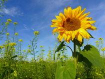 Sonnenblume von Ralf Schröer