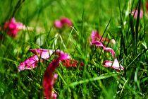 Blütenblätter by Lutz Wallroth