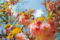 Kirschblüten von Lutz Wallroth