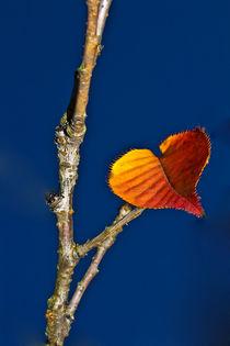 Herbst, letztes Kirschbaumblatt, Herbst, Stimmung by Bernard Fox