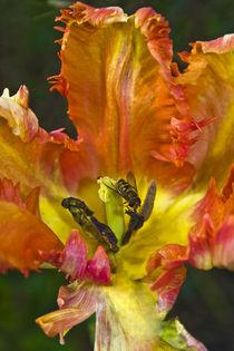 Tulpe Schwebfliege Tulpenblühte rot gelb von Bernard Fox