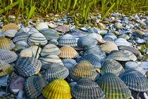 Muscheln Strand, Haufen bunte Muschel  Meer,       von Bernard Fox