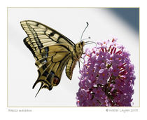 Papilio machaon by Walter Layher
