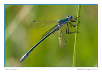 Lestes sponsa by Walter Layher