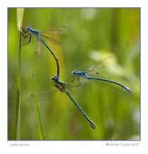 Lestes dryas by Walter Layher