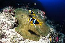 Anemonenfische von Heike Loos