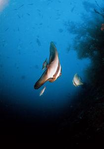 Fledermausfisch von Heike Loos