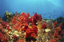 rote Weichkorallen - Fiji by Heike Loos