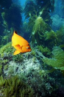 Garibaldi im Kelp von Heike Loos