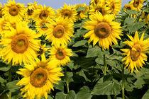 Sonnenblumen von Ralf Kochems