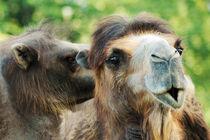 Kamel von Kristin Teuber