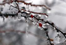 Eis-Berberitze by Anja Uhlig