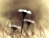 three daisys by Anne Seltmann
