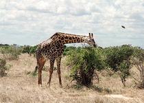 Giraffe by Stefanie Härtwig