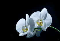 Weisse Phalaenopsis (Orchidee) by triviart