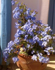 Blume von hag