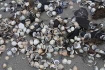 Verschiedene Muscheln am Nordseestrand