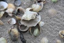 Verschiedene Muscheln am Nordseestrand von petra ristau