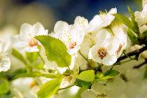 Frühlingsfrüchte von Ulrike Haberkorn