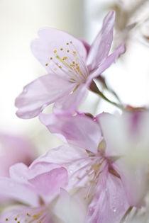 Frühlingsblüten von Gordon Below