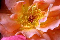 Rose mit Tautropfen by lizcollet