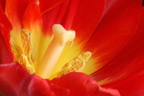 Red Heart Tulip | Rote Tulpe by lizcollet