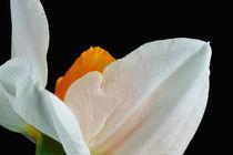 Wende Dich nicht ab - Weisse Narzissenblüte von lizcollet