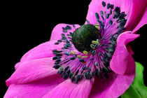 Anemone by lizcollet