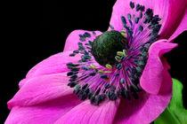 Anemone von lizcollet
