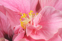 Pink Lady Hibisc by lizcollet