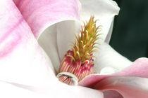 Magnolie mit Wassertropfen | First Springtime Reflections by lizcollet