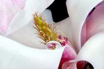 Magnolienblüte mit Wassertropfen | Magnolie  von lizcollet