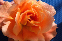 Apricot Summer Rose by lizcollet