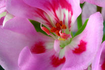 Duftperlargonie - Pretty Pink Summer Lady by lizcollet
