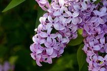 Fliederblüten - Frühlingszauberei von lizcollet