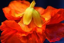 Primadonna des Fleurs von lizcollet