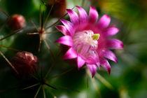 Kaktusblüte im Morgentau von lizcollet