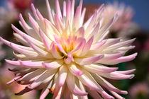 Weisse Dahlie mit rosafabenen Spitzen   Star Like  by lizcollet