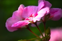 Pelargonia's Morning Shower by lizcollet