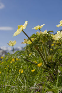Alpenblumen by Johannes Netzer