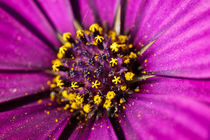 Purple daisy flower macro by Mario Cehulic