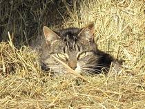 Katze im Heu von Elke Schmidt