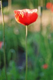 Faszination Mohnblume Nr 4 by Elke Schmidt