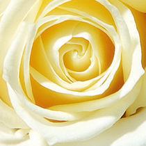 Rose von Karin Reichert